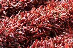 Bundle of dried red cayenne hot pepper on market Stock Image