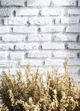 Bundle of dry lavender at white brick wall Stock Photography