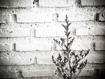 Bundle of dry lavender at white brick wall Stock Images