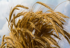 Bundle of ears of wheat against the sky. Agriculture Royalty Free Stock Image