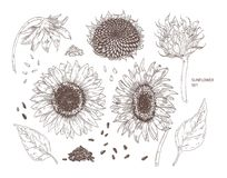Bundle of elegant botanical drawings of sunflower parts. Set of flowers, buds, seeds and leaves hand drawn with contour. Lines on white background. Monochrome stock illustration