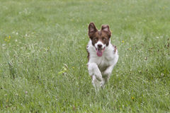 Bundle of energy. Bordercollie running across a meadow Stock Images