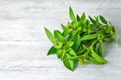 Bundle fresh basil on wooden board Stock Photo