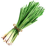 Bundle of fresh lemon grass isolated on white, watercolor illustration stock photography