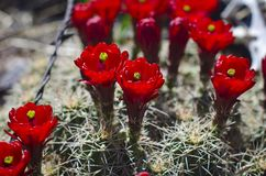 A bundle of fresh red flowering cactus. In the desert summer sun of the utah junkyard Stock Images