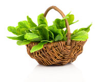 Bundle of fresh sage in a wicker basket Stock Photos