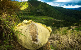 Bundle of Freshly Harvested Rice, Wrapped and Ready To Go. Bundle of rice wrapped up and ready to be transported Royalty Free Stock Images