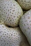 Bundle fungus. In nature area Dwingelderveld, Netherlands Stock Photos