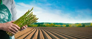 Bundle of green asparagus in hands of a farmer. In front of asparagus field in spring royalty free stock image