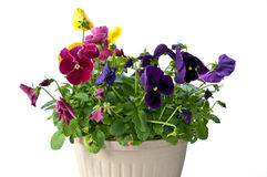 Bundle of pansies on isolating background. Bundle of colorful pansy flowers in a pot on isolating white background Royalty Free Stock Images