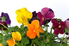 Bundle of pansies on isolating background Stock Photos