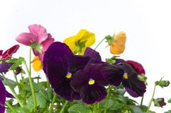 Bundle of pansies on isolating background Stock Image