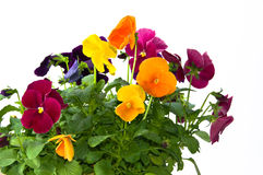 Bundle of pansies on isolating background. Bundle of colorful pansy flowers in a pot on isolating white background Stock Images