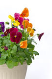 Bundle of pansies on isolating background. Bundle of colorful pansy flowers in a pot on isolating white background Stock Photo