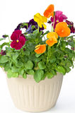 Bundle of pansies on isolating background Royalty Free Stock Photos