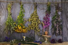 Bundle of plants in the drying process. Medicinal herbs are also used to add to tea. Bundle of plants in the drying process stock photography