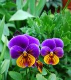 Bundle of purple pansy flowers Royalty Free Stock Image