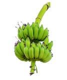 Bundle raw green banana Royalty Free Stock Image