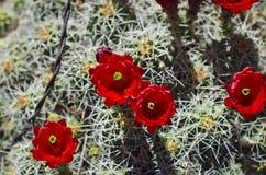 A bundle of red flowering cactus. In the desert summer sun of the utah junkyard Royalty Free Stock Photos