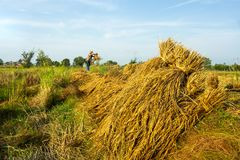 Bundle of rice. Farmers in northeastern Thailand harvest rice yields royalty free stock image