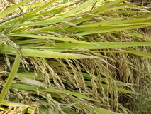 Bundle of rice paddy on the rice field Royalty Free Stock Images