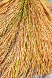 Bundle of rice on the rice field Royalty Free Stock Image