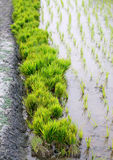 Bundle of rice seedlings in rural agriculture field Stock Image