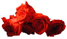 Bundle of Roses. A bundle of roses isolated on a white background stock image