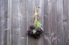 Bundle of Sambucus nigra berries Royalty Free Stock Image