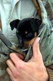 Bundle of Warmth. Tiny puppy feels safe, cozy and warm wrapped inside owner's jacket. Snow flakes sit on canine's head and nose. Black and tan puppy Royalty Free Stock Photo
