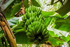 Bundle of young green bananas growing in the tropical forest at the island Royalty Free Stock Photos