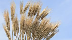 Bundled barley Stock Images
