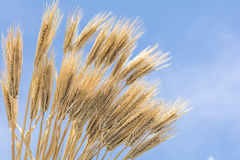 Bundled barley Stock Photo