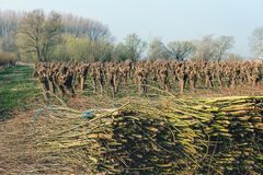 Bundled osiers in the foreground of recently pruned pollard willows. Bundled osiers in the foreground of a field with recently pruned pollard willows. The photo royalty free stock images