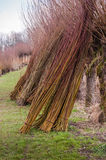 Bundled osiers are ready for transport. The osiers of the pollard willows are harvested and bundled and now ready for transport to the customers royalty free stock image
