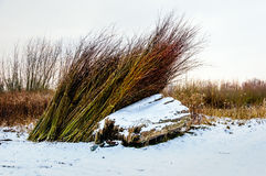 Bundled osiers in the winter season Royalty Free Stock Photography