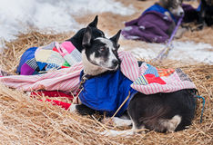 Bundled Up Sled Dogs Rest Between Legs of Race Royalty Free Stock Photo