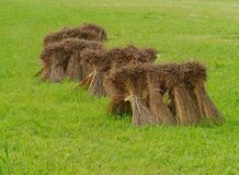 Bundles of grain. Grain sheaves in the fields of a farm in summer Stock Photography