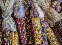 Bundles of Harvest Corn. Bundles of multi colored autumn corn Royalty Free Stock Photography