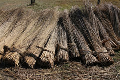 Bundles harvested reed are drying. Bundles of harvested reed are drying on a meadow. Thatched roof are made with this reed Royalty Free Stock Images