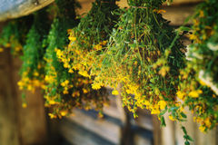 Bundles of medicinal plants St. John's wort is collected for drying hanging Stock Photo