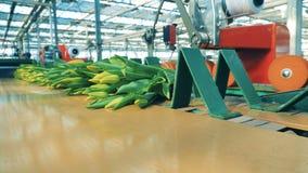 Bundna upp grupperingar av gula tulpan fortskrider bältet lager videofilmer