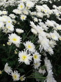 Bunga Kebun Стоковые Изображения RF