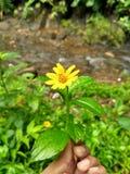 Bunga matahari Royalty Free Stock Photography