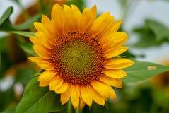 Bunga matahari, härliga ljusa gula solroslantgårdfält i Yogyakarta Indonesien arkivbild