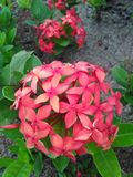 Bunga merah Royalty Free Stock Photography