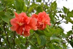 Bunga Raya в саде Стоковая Фотография