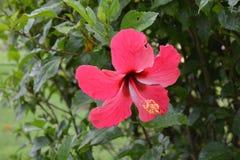 Bunga Raya в саде Стоковая Фотография RF