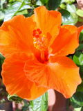 Bunga Raya Lizenzfreie Stockfotos