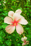 Bunga Raya, chino subió Imagen de archivo